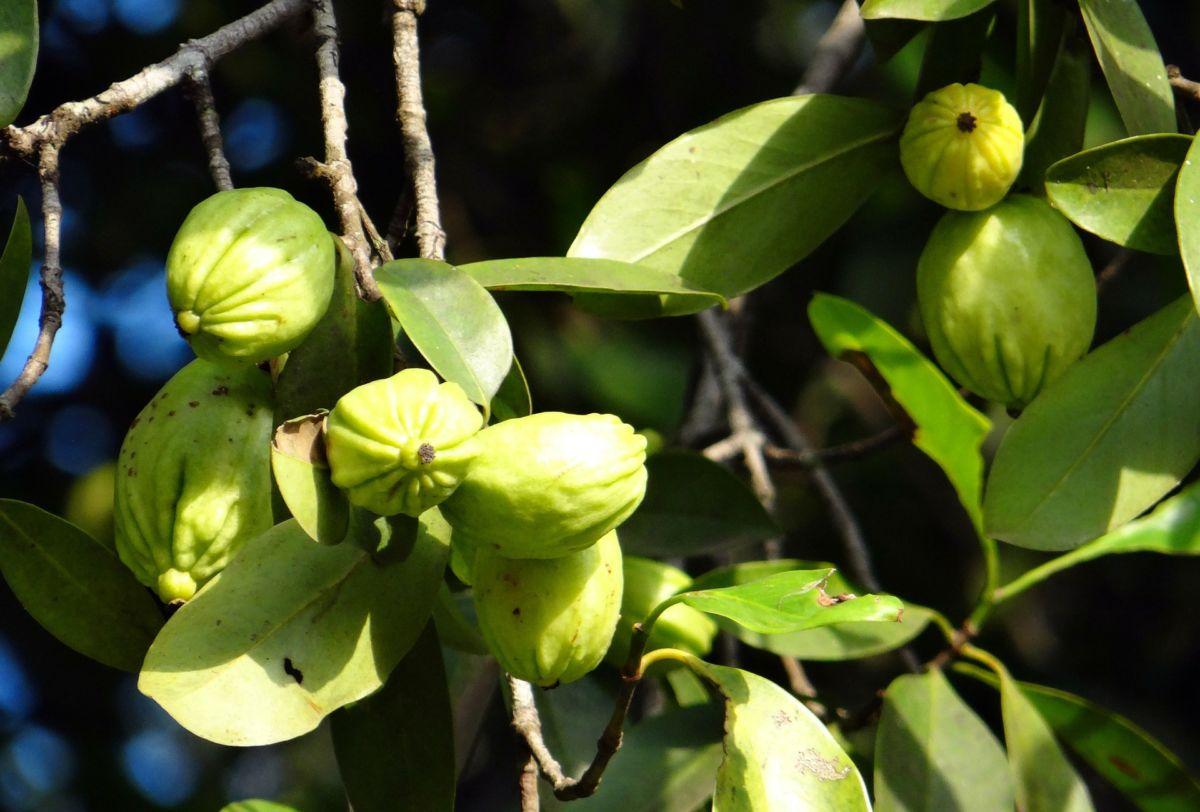 Wat is Garcinia combogia? Veelbelovend afslankproduct