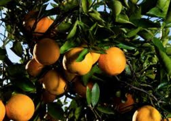 Wat is Citrus Aurantium (synefrine)?
